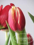 Tulipescloseup